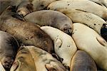 Northern Elephant Seals California, USA