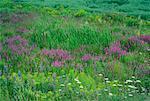 Wildflowers near Tignish Prince Edward Island, Canada