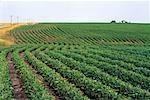 Récolte de soja