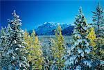 Schneebedeckte Bäume Banff-Nationalpark in Alberta, Kanada