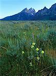 Fleurs sauvages et champ Grand Teton National Park, Wyoming, États-Unis
