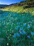 Fleurs sauvages et Sage Grand Teton National Park, Wyoming, États-Unis