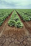 Sillons de récolte de la laitue