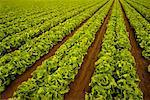 Lettuce Field Salinas Valley, California, USA