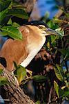 Nankeen Night Heron Kakadu National Park, Australia