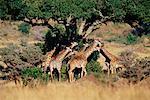 Giraffe Masai Mara, Kenya