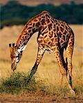 Girafe Masai Mara, Kenya