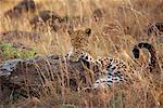 Leopard Lying Down by Rock