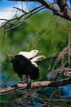 African Fish Eagle Duma Tau, Botswana, Africa