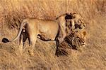 Lions en herbe