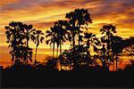 Bosquet de palmiers au coucher du soleil
