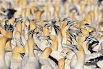 Flock of Cape Gannet