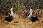 Albatrosses Displaying