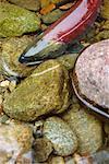 Saumon en eau peu profonde