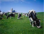 Cows Grazing in Field Nova Scotia, Canada