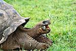 Giant Tortoise aux îles Galapagos, Equateur