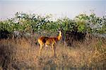Impala Chobe National Park Botswana, South Africa