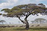 Serengeti National Park United Republic of Tanzania Africa