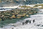 King Penguins et éléphants de mer Gold Harbour, île de Géorgie du Sud, Antarctique