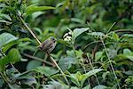 Darwin Finch, Galapagos Islands