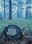 Souche d'arbre de pin en décomposition