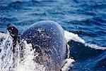 Killer Whale Breaching Surface Gulf Islands, British Columbia, Canada