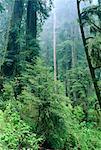 Redwood Forest, Redwood National Park, California, USA