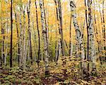 Birch Forest, Algonquin Provincial Park, Ontario, Canada