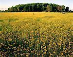 Yellow Hawkweed, Woodville, Ontario, Canada