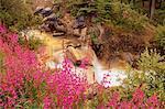 Fireweed, Tangle Creek, Banff National Park, Alberta, Canada
