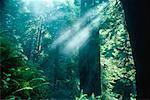 Sunrays, Redwood Forest, Northern California, USA