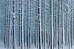 Neige couverte d'arbres, le Parc National Jasper, Alberta, Canada