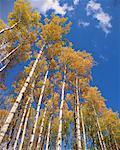 Peuplier arbres, Alberta, Canada