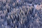 Snow on Trees, Northern British Columbia, Canada