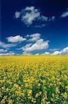 Canola Field, near Stettler, Alberta, Canada