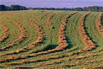 Hay Furrows, near Drayton Valley, Alberta, Canada