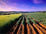 L'orge et les champs de pommes de terre près de New Glasgow, Prince Edward Island, Canada