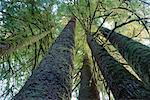 Rainforest, Sitka Spruce, Carmanah-Pacific Provincial Park, British Columbia, Canada