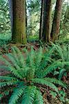 Rainforest, Sitka Spruce, Carmanah Pacific Provincial Park, British Columbia, Canada