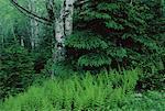 Bois de printemps, Bluff, Nouveau-Brunswick, Canada de personne