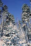Snow on Trees Against Blue Sky, Shamper's Bluff, New Brunswick, Canada