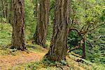Rain Forest near Qualicum, British Columbia, Canada