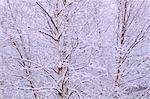 Arbres couverts de neige, Bluff, Nouveau-Brunswick, Canada de personne
