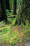 Soleduck Valley Rainforest, Olympic National Park, Washington, USA
