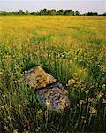 Yellow Hawkweed and Daisies, Woodville, Ontario, Canada
