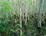 Cypress Trees and Bromeliads, Corkscrew Swamp Sanctuary, Florida Everglades, USA