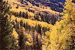 Fall Aspens, Colorado, USA