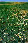 Field of Dandelions, Bloomfield, New Brunswick, Canada