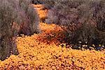 Fleurs sauvages, Namaqualand, Afrique du Sud