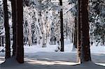 Neige et arbres, Bluff, Nouveau-Brunswick, Canada de personne